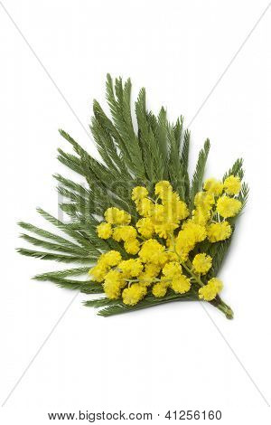 Corsage of mimosa flowers on white background