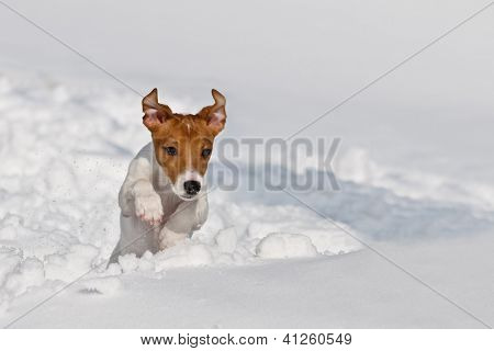 jack russel jumping on snow