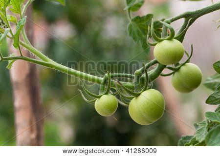 Dinheiro Maker tomates