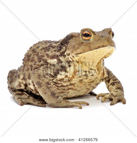 Grass Frog Close-up Isolated On White Background