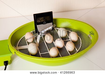 Duckling eggs lying in an open incubator with hygrometer to check humidity
