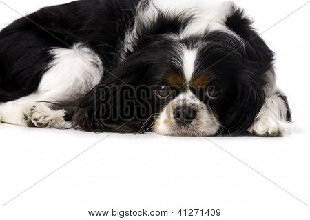 King Charles Spaniel Curled Up Isolated On A White Background