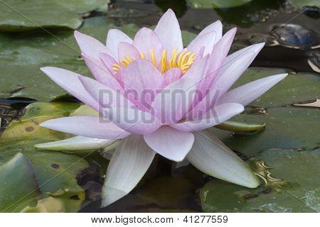 Lírio de água-de-rosa pálido (nymphaea)