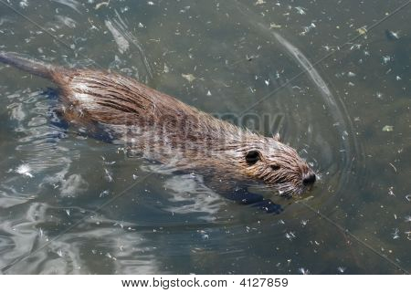 Swimming Nutria