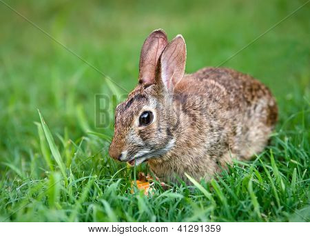 Cottontail bunny rabbit eating carrot