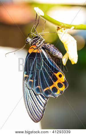 Male Great Mormon Butterfly