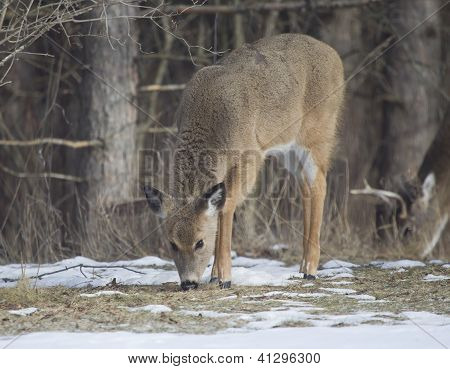 A Fawn Doe With A Buck Behind Her.