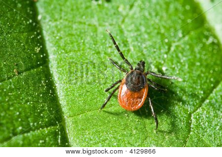 Tick On Leaf. Ixodes Ricinus.