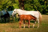 foto of lipizzaner  - Lipica horse on pasture in hot summer - JPG