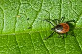 image of ixodes  - Castor bean tick on the leaf - JPG