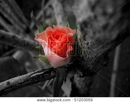 Beautiful Awakening Rose Bud amidst Lifeless Grey Branches
