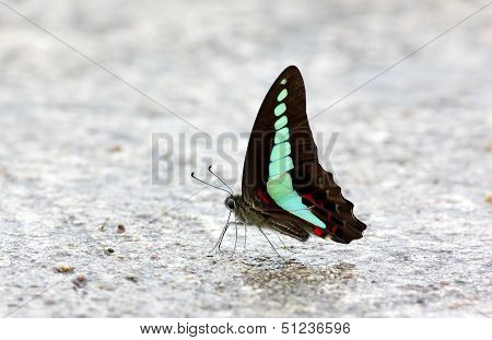 Common Bluebottle Graphium Sarpedon Butterfly