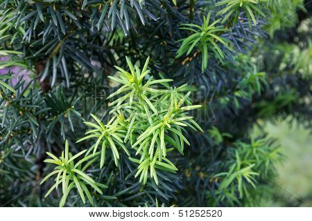 Yew tree (Taxus cuspidata). Young growing branch of Japanese yew.