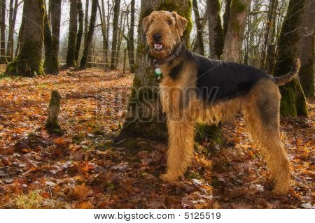Happy Airedale Terrier Dog In Autum Setting