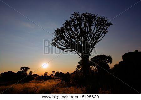 Quiver Tree Silhouette