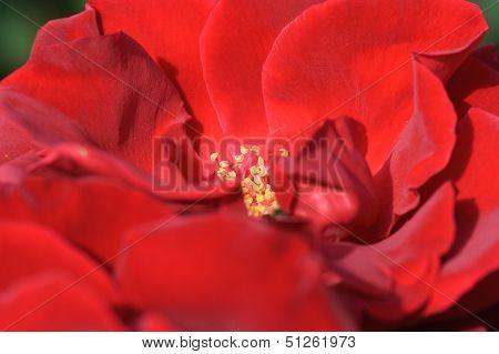 Kardinal Rosaceae