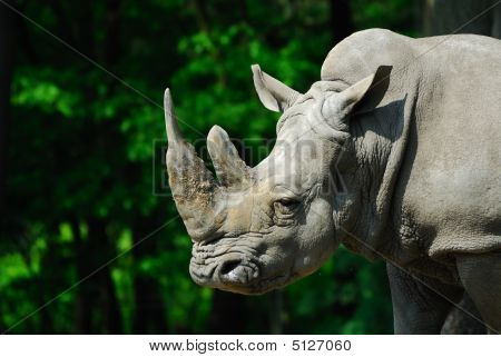 Big Rhino