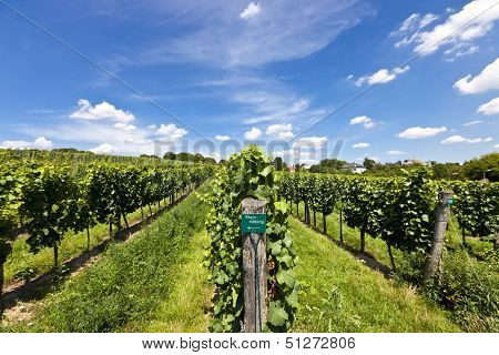 Vineyard Of Riesling Grape