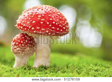 Macro photo of amanita muscaria in forest