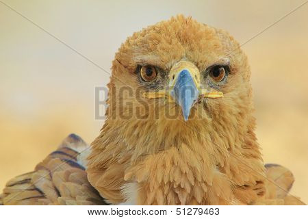Tawny Eagle - Wild Bird Background from Africa - Looking at and through you