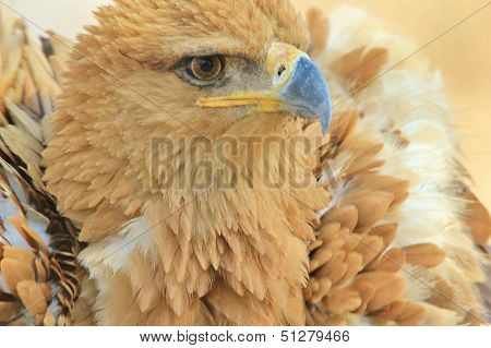 Tawny Eagle - Wild Bird Background from Africa - Anger Management of Fluff and Puff