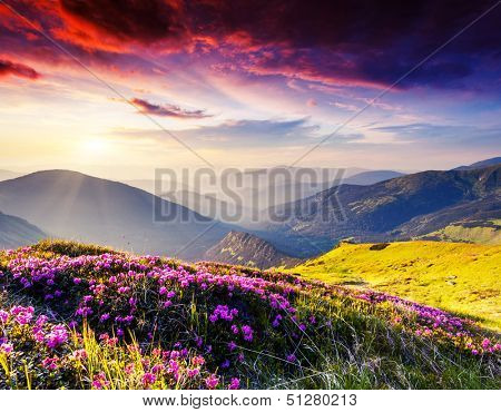 Magic pink rhododendron flowers on summer mountain. Dramatic overcast sky. Carpathian, Ukraine, Europe. Beauty world.