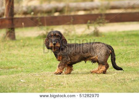 Tekkel Breed Standing On Green Grass