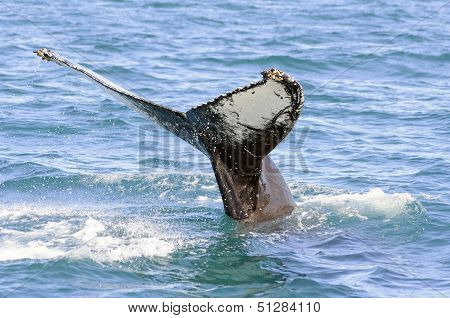 Humpback Whale Tail In Skjalfandi Bay in Iceland