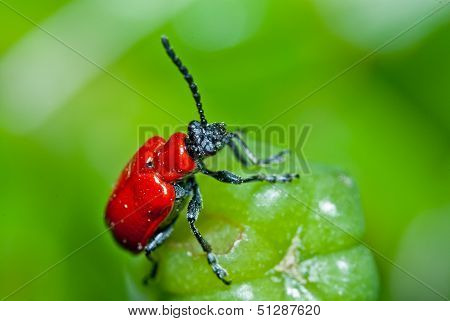 Red beetle on green bud