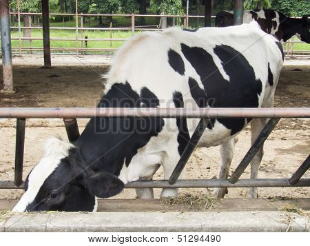 Dairy Cow In Farm