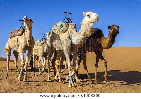 Dromedaries In Morocco Desert