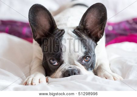 Adorable French bulldog puppy lying in bed