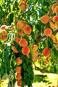 picture of peach  - Peach garden with ripe and juicy peach in Bulgaria - JPG