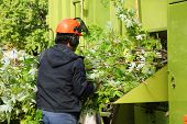 foto of tree lined street  - Worker putting maple tree branches into a chipper truck - JPG