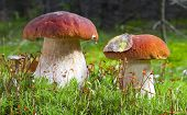 stock photo of fungus  - Porcini mushroom  - JPG