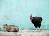 pic of sneak  - A black rooster sneaking up on a sleeping grey cat over a grungy looking background - JPG