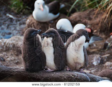 Three Rock Hopper Penguin Chicks Standing In Line