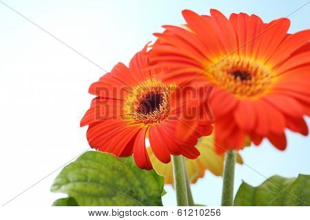 Gerbera (sunflower) plant on light blue background_ shallow DOF