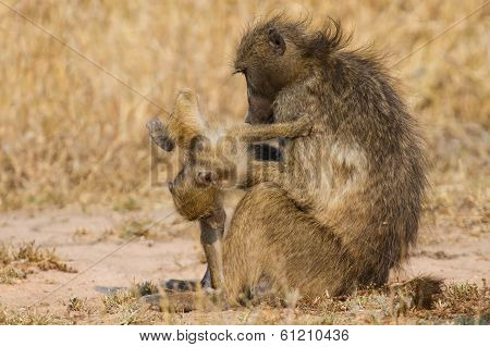 Baboon Family Play To Strengthen Bonds And Having Fun Nature