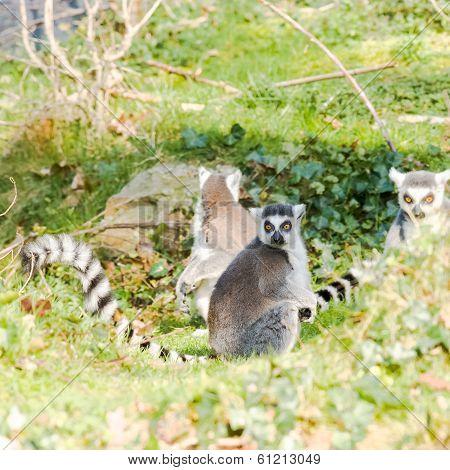 Ring-tailed Lemurs(lemur Catta) Sitting In The Sun