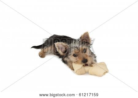 Yorkshire terrier puppy munching on a bone on white background