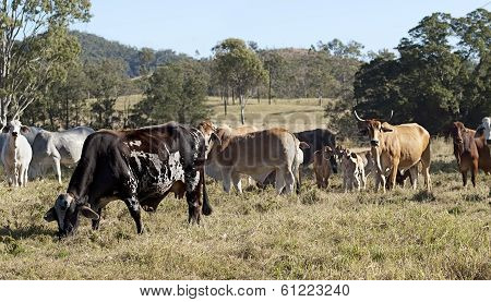 Australian brindle cow, beef cattle herd
