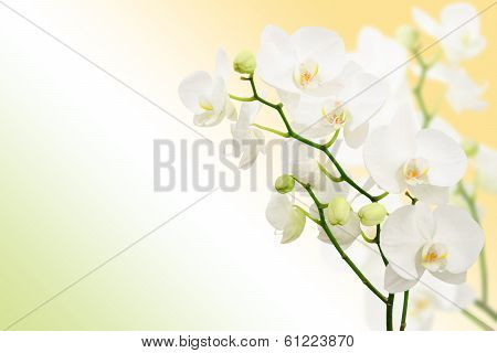 Morning Spring Background With Branches Of White Orchid Flowers