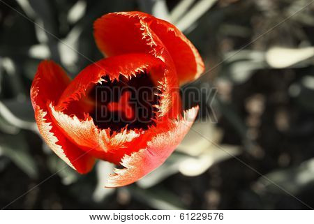 Flaming Fringed Red Tulip