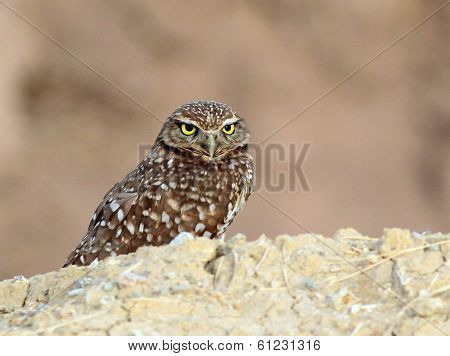 Burrowing Owl Staring