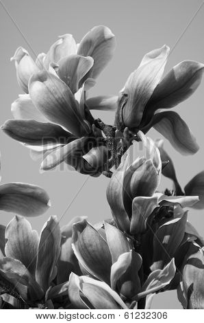 Magnolia Flower Black And White