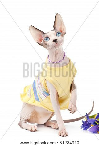 Canadian Sphynx cat dressed in yellow dress with iris flower
