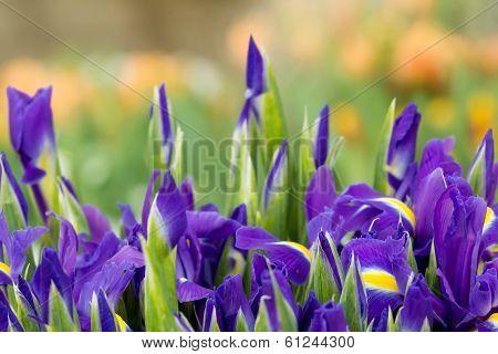 Romantic purple iris background