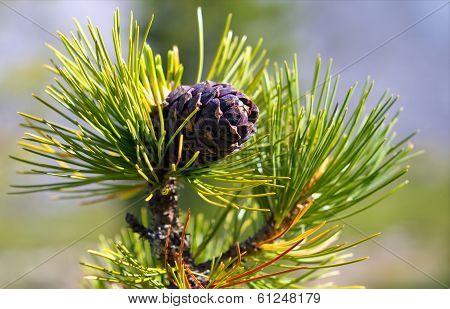Cedar Cone (pinus Sibirica)