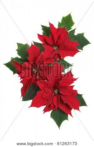 ground of three poinsettias on white